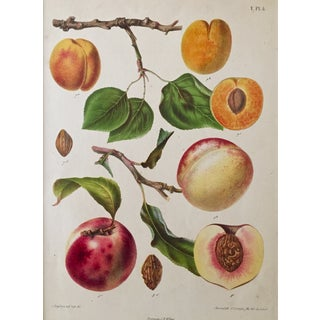 Antique Dutch Peaches Lithograph