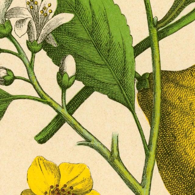 Antique 'Lemon Botanical' Archival Print - Image 2 of 4
