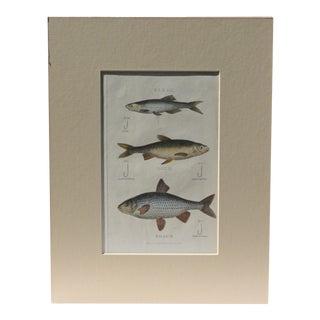 Bleak, Dace & Roach Fish Variety Print