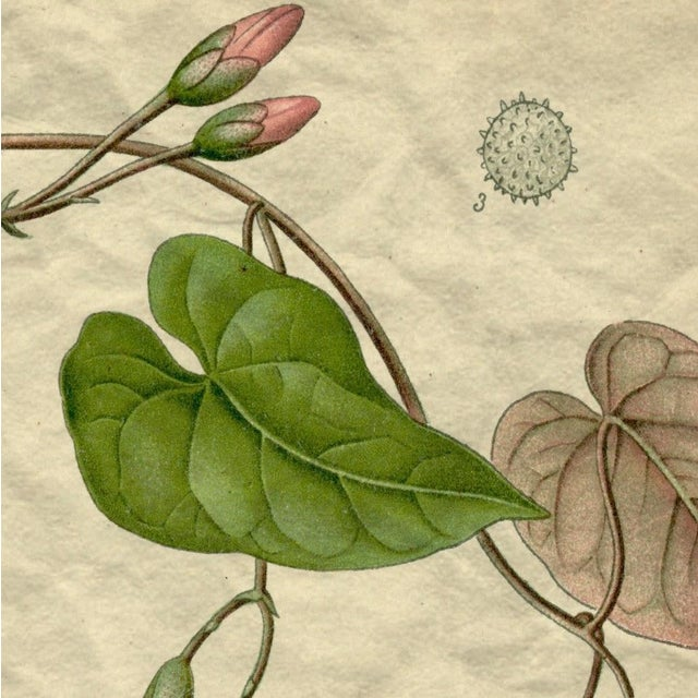 Archival 'Pink Morning Glory' Antique Print - Image 2 of 3