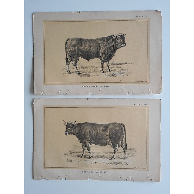 Image of Antique Bull & Cow Lithographs - A Pair