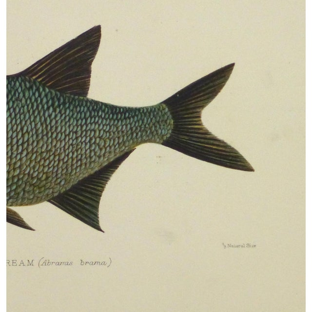 Image of Antique Fish Print, Freshwater Bream, 1904