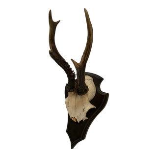 German Roe Deer Antlers With Partial Skull
