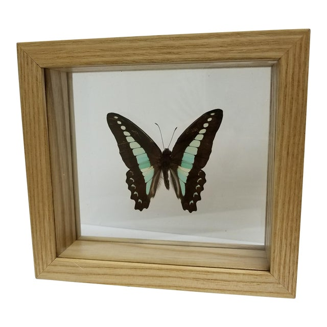 Indonesian Framed Swallowtail Butterfly - Image 1 of 5