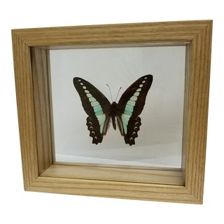 Indonesian Framed Swallowtail Butterfly