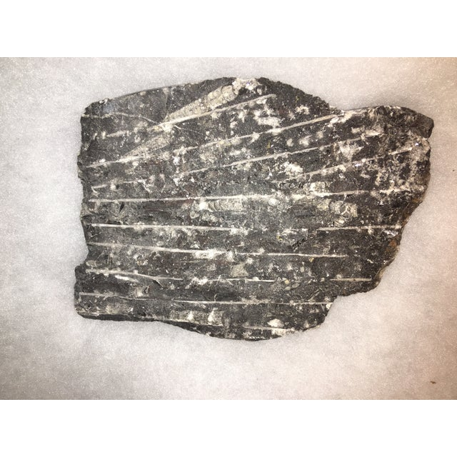 Fossil Orthoceros - Image 6 of 6
