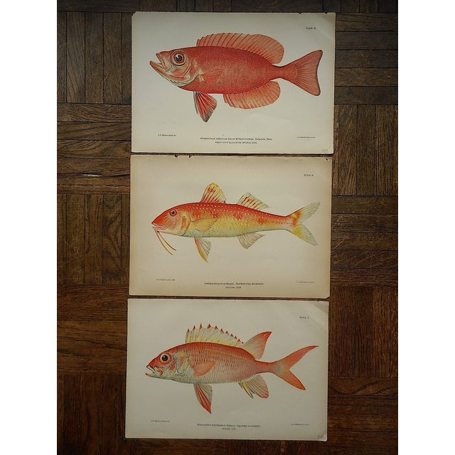 Image of Antique Tropical Fish Lithographs - Set of 3
