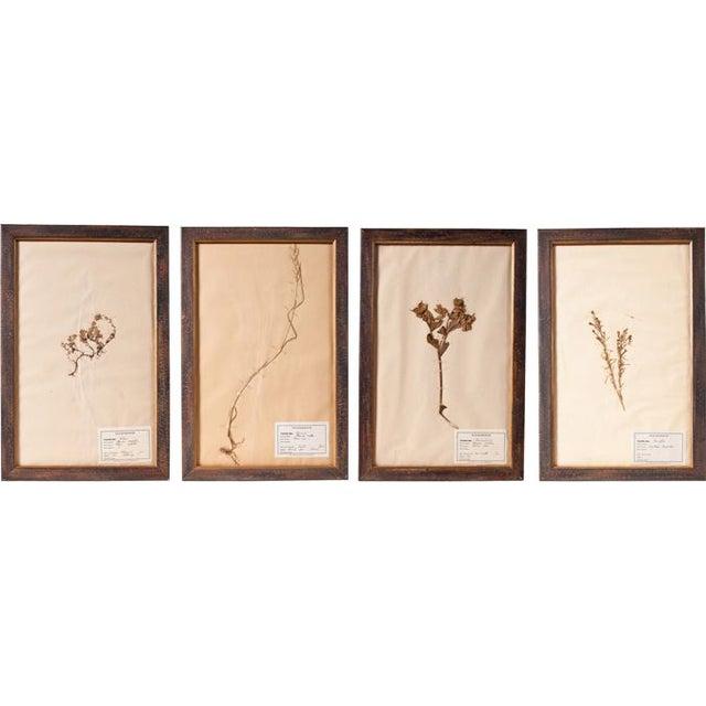 Image of Framed Botanical Pressings C. 1826 - Set of 4