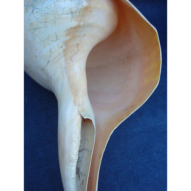 Image of Giant Conch Seashell - 18""
