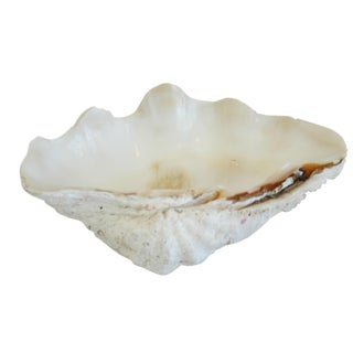 Antique Natural Saltwater Clamshell