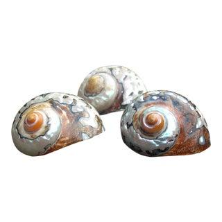 Natural Turban Seashells- Set of 3