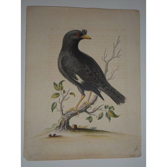 18th Century George Edwards Bird Engraving - Image 2 of 3