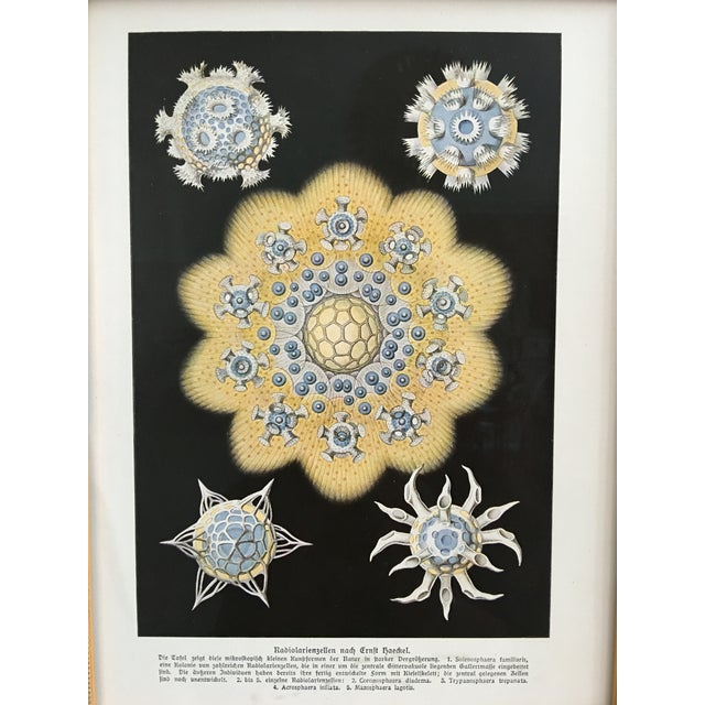 Antique Starfish Lithograph by Haeckel - Image 3 of 6