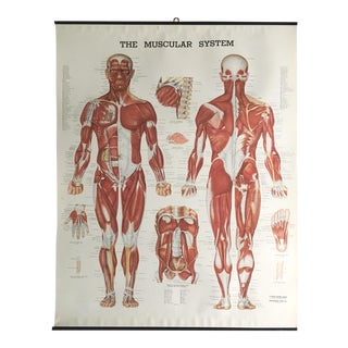 Vintage Mid-Century Anatomical Chart - Muscular System