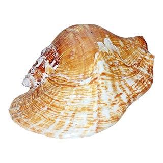 Goliath Conch Shell, Lobatus Goliath