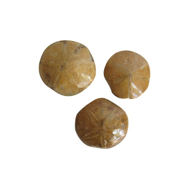 Fossilized Sand Dollars - Set of 3 - Image 1 of 5