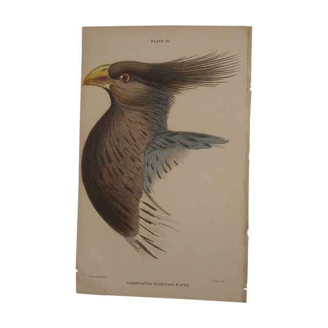 Image of Antique Hand Colored Bird Engraving