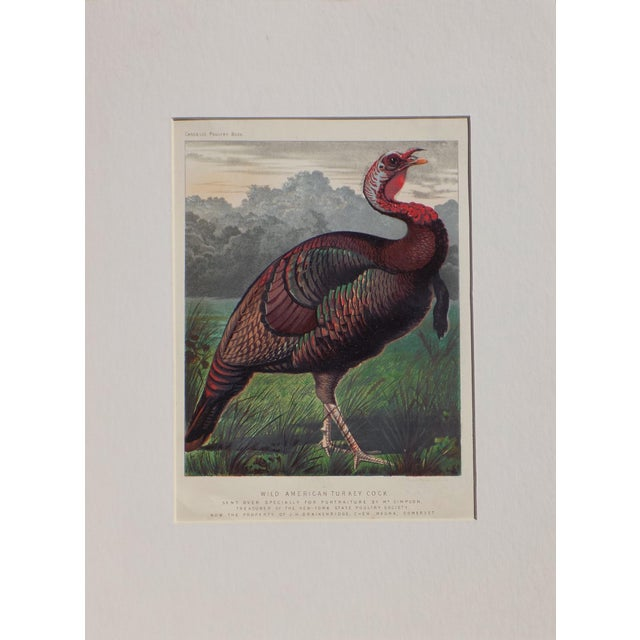 Wild American Turkey, C. 1880 - Image 1 of 2