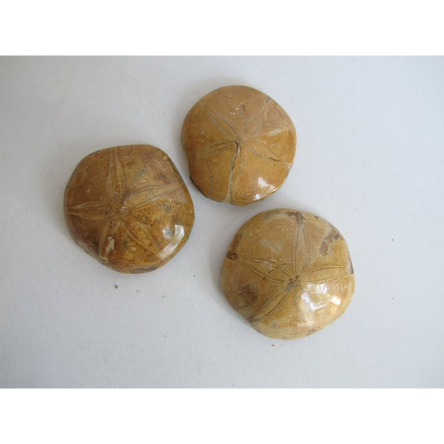 Fossilized Sand Dollars - Set of 3 - Image 4 of 5