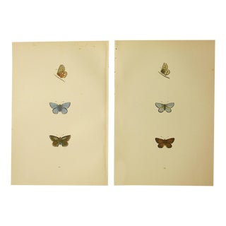 Antique Butterfly Lithographs - А Pair