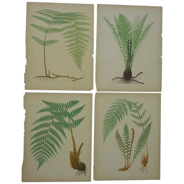 Antique Fern Chromolithographs- Set of 4 - Image 1 of 6