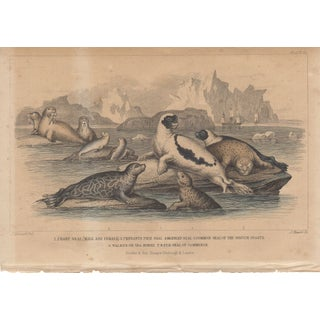 "19th c. Hand Colored Etching ""Harp Seals"""