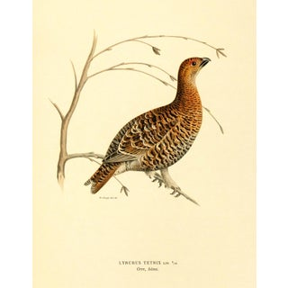 Vintage Bird Print - Grouse, 1929