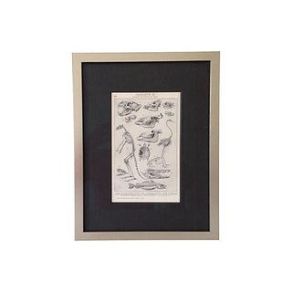 Antique Animal Skeletons Lithograph