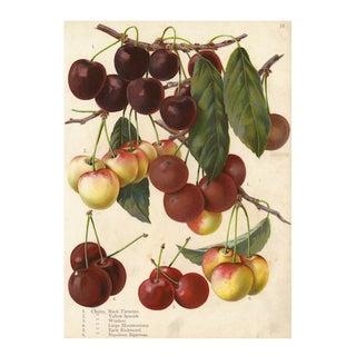 Vintage Cherries Archival Print