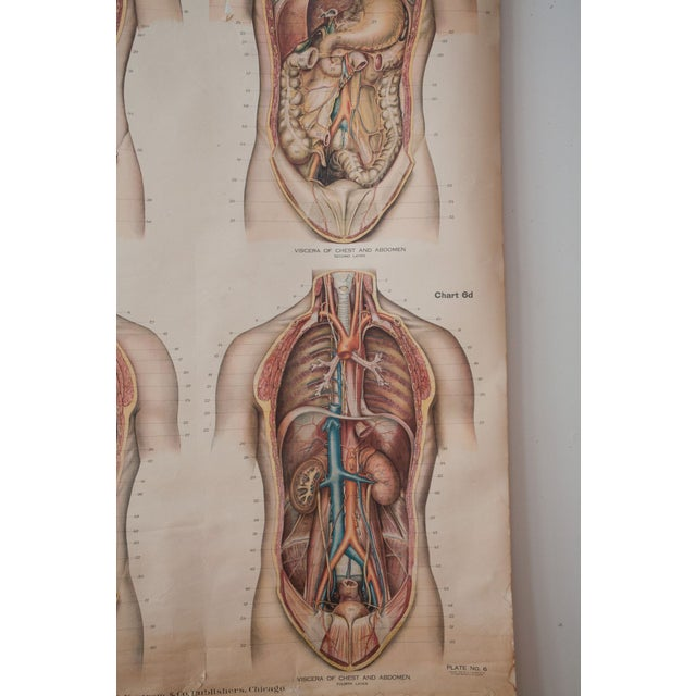 Large Vintage Pull Down Anatomy Chart - Image 3 of 5