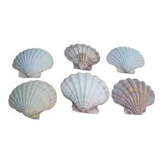Natural Giant Scallops Shells - Set of 6