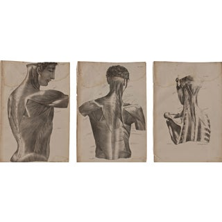 19th Century Musculature Prints - Set of 3
