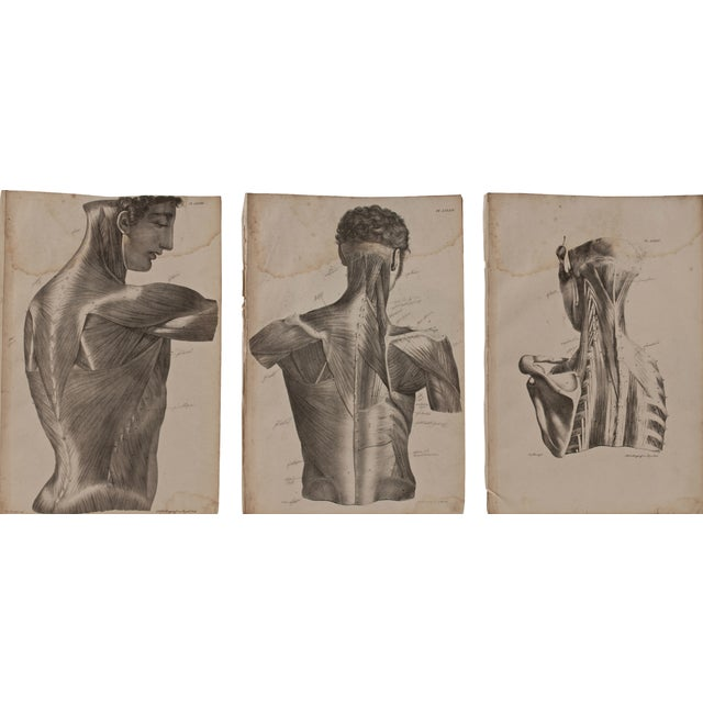 Image of 19th Century Musculature Prints - Set of 3