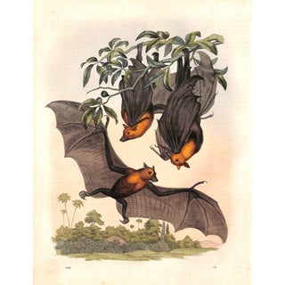 1861 Fruit Bats Engraving