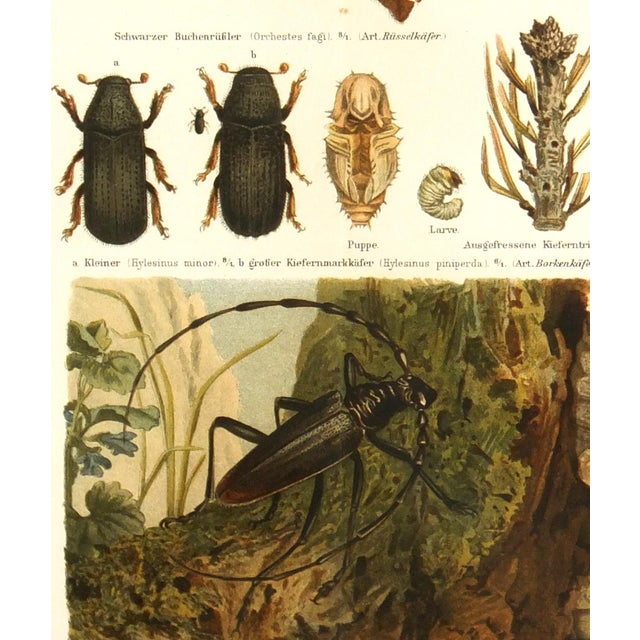 Antique 1894 Beetles Insect Print - Image 2 of 3
