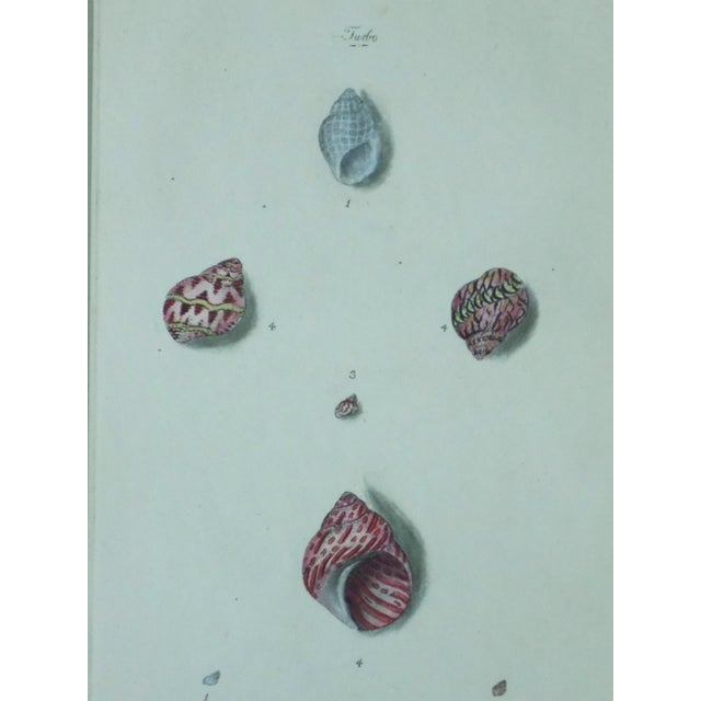Turbo Shell Prints, 1803 - A Pair - Image 4 of 7
