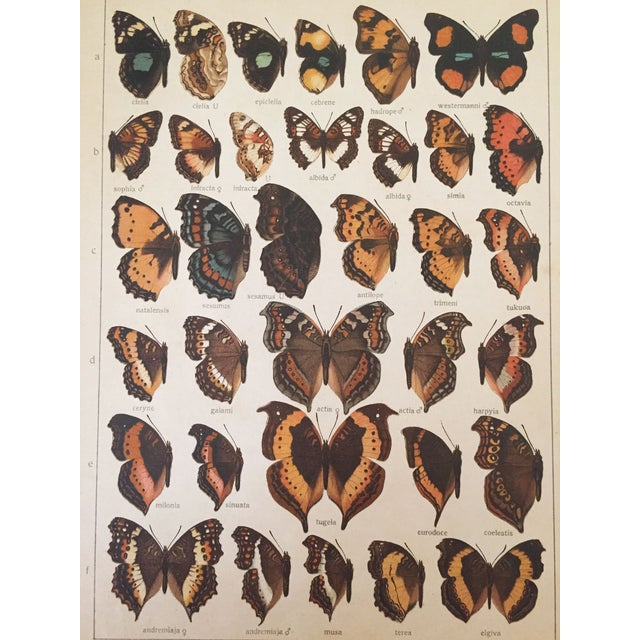 1910 Butterfly Specimen Lithograph - Image 2 of 4