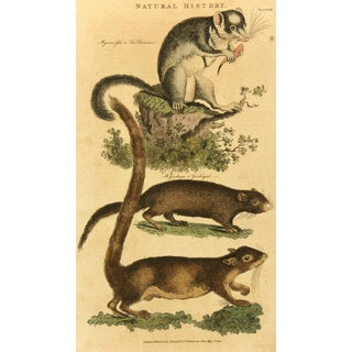 Antique French Engraving, Dormouse & Squirrels, 18