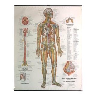 Vintage Mid-Century Anatomical Chart - Nervous System