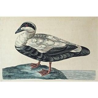 Drake Eider Duck Etching by George Edwards