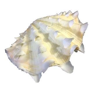 Natural Tridacna Squamosa Whole Ruffled Clam Shell