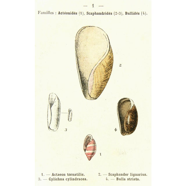 Vintage Lithograph of Seashells, 1913 - Image 1 of 3