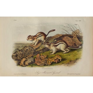 Jay's Marmot Squirrel Lithograph by Audubon