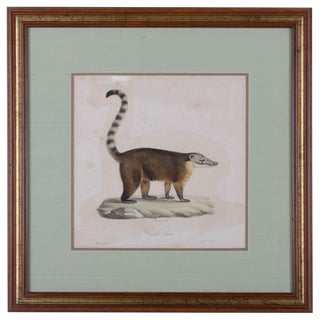 Cuvier and St. Hilaire Handcolored Lithograph of a Brown Coati
