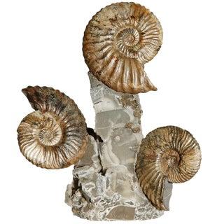 Ammonite Triple Cluster