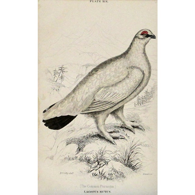 Common Ptarmigan Engraving - Image 1 of 2