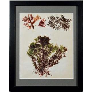 Victorian Ladies' Pressed Seaweed Pictures