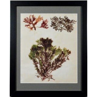 Victorian Ladies' Pressed Seaweed Pictures