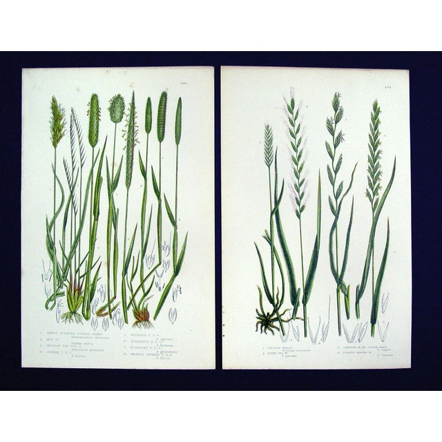 Antique Botanical Grasses Lithograph - A Pair - Image 2 of 4