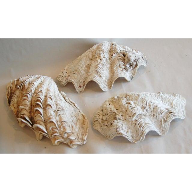 Image of Antique Nautical Seashells Clamshells - Set of 3